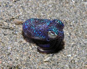 Beautiful Bobtail squid