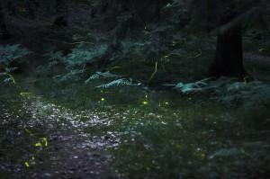 Fireflies in Forest